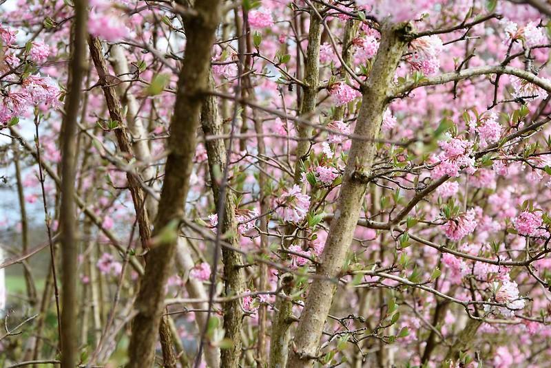 Cherry Blossom 21.03 (1)