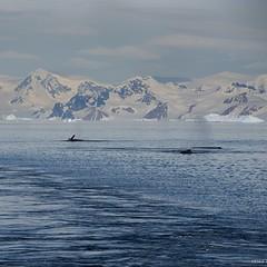 A pod of Humpbacks