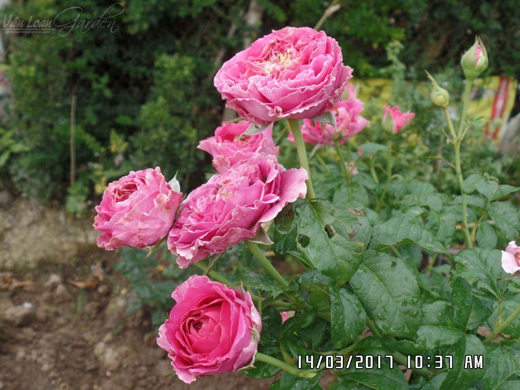 hoa hong cat canh kate rose (21)+vuonhongvanloan.com.JPG