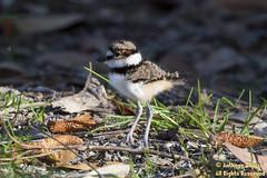 Killdeer (fledgling) 2440