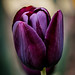 Tulip by Limes Wright