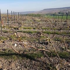 Dans les blancs, seule l'herbe reste verte, pour les brins, c'est plutôt un nuancier de rouge,brun, ocre et gris.  #TropFroid. #20avril2017 #Gel #Vignes #Printemps #Champagne #Tarlant #vigneron #depuis1687 - Photo of Troissy
