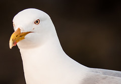 albatross(0.0), wing(0.0), animal(1.0), charadriiformes(1.0), white(1.0), fauna(1.0), close-up(1.0), european herring gull(1.0), beak(1.0), bird(1.0), seabird(1.0),