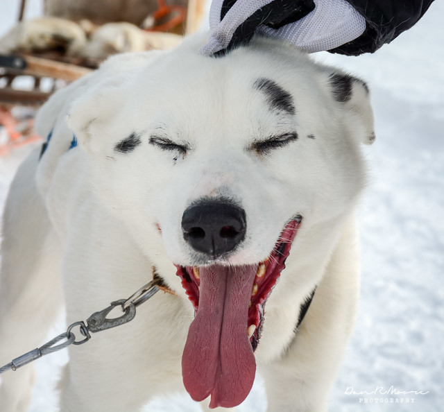 A Day of Husky Dog Sledding - Happy Husky
