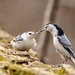 Sitelle a poitrine blanche - White-breasted Nuthatch.jpg by proxy46