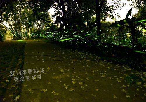 2014油桐花_004.jpg
