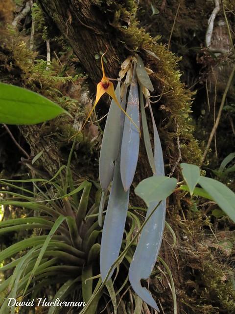 Masdevallia caesia (especie endemica de Colombia ) floreciendo in situ sobre un arbol viejo en el Valle del Cauca, Colombia