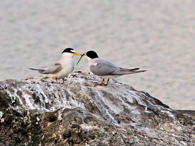 Least Tern female refuses fish from intruder male 30- 20140428