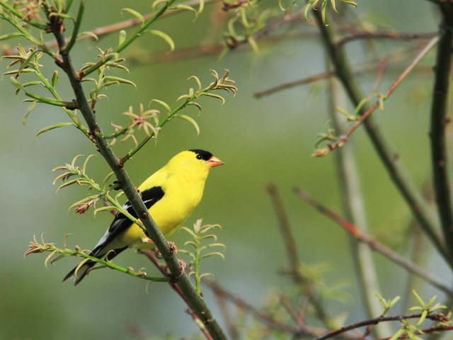 American Goldfinch 2-20140521