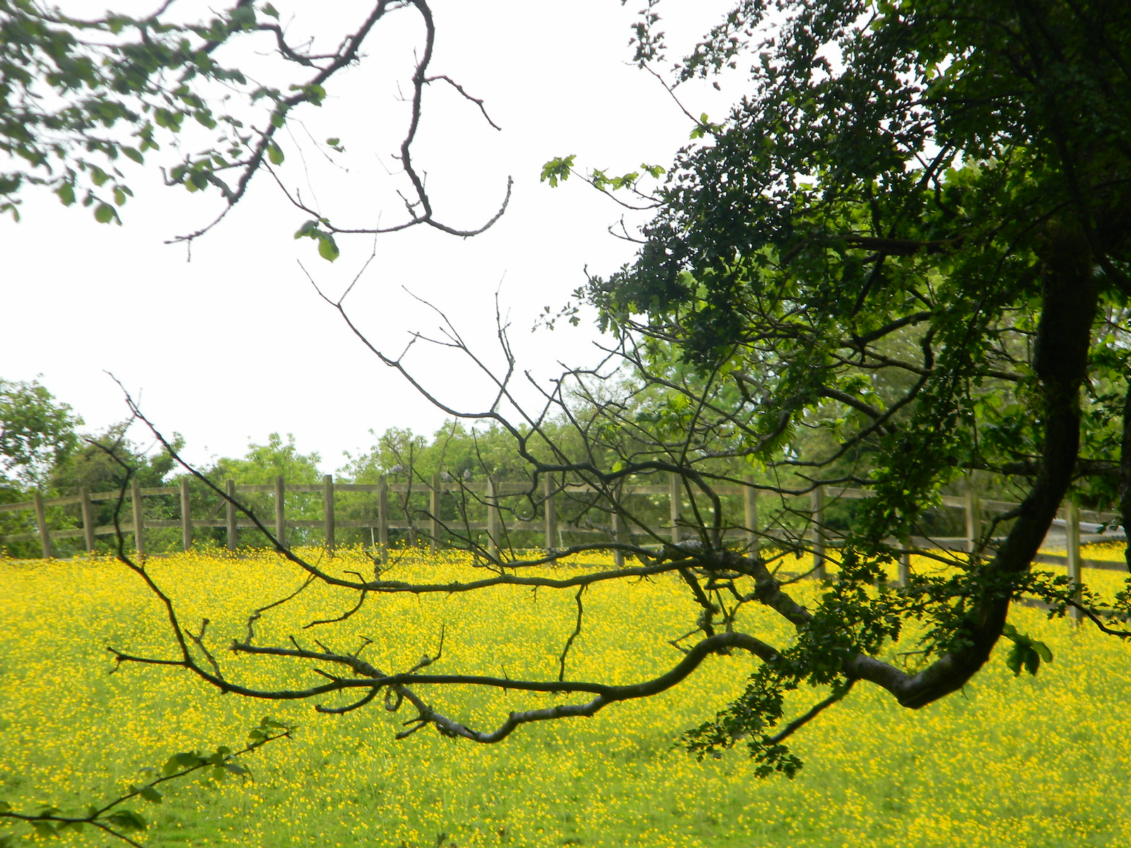 Yellow meadow Chipstead to Kingswood