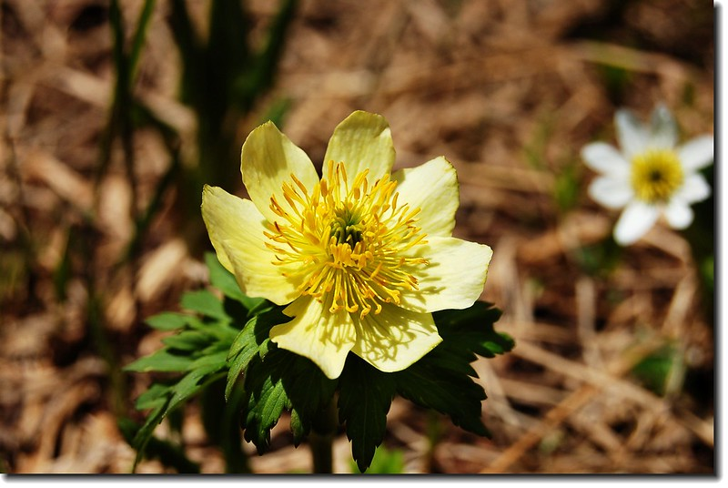 Globeflower(Black lake)