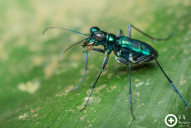 Metallic Green Tiger Beetle (Cicindela sp.)