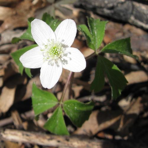 Wood-anemone? (Anemone quinquefolia), Cherokee Marsh