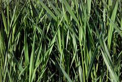 sweet grass, grass, chrysopogon zizanioides, hierochloe, green, plant stem, grassland,