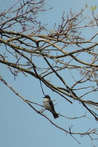 #62 Eastern Kingbird (Tyrannus tyrannus)