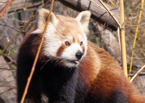 (Roter) Panda