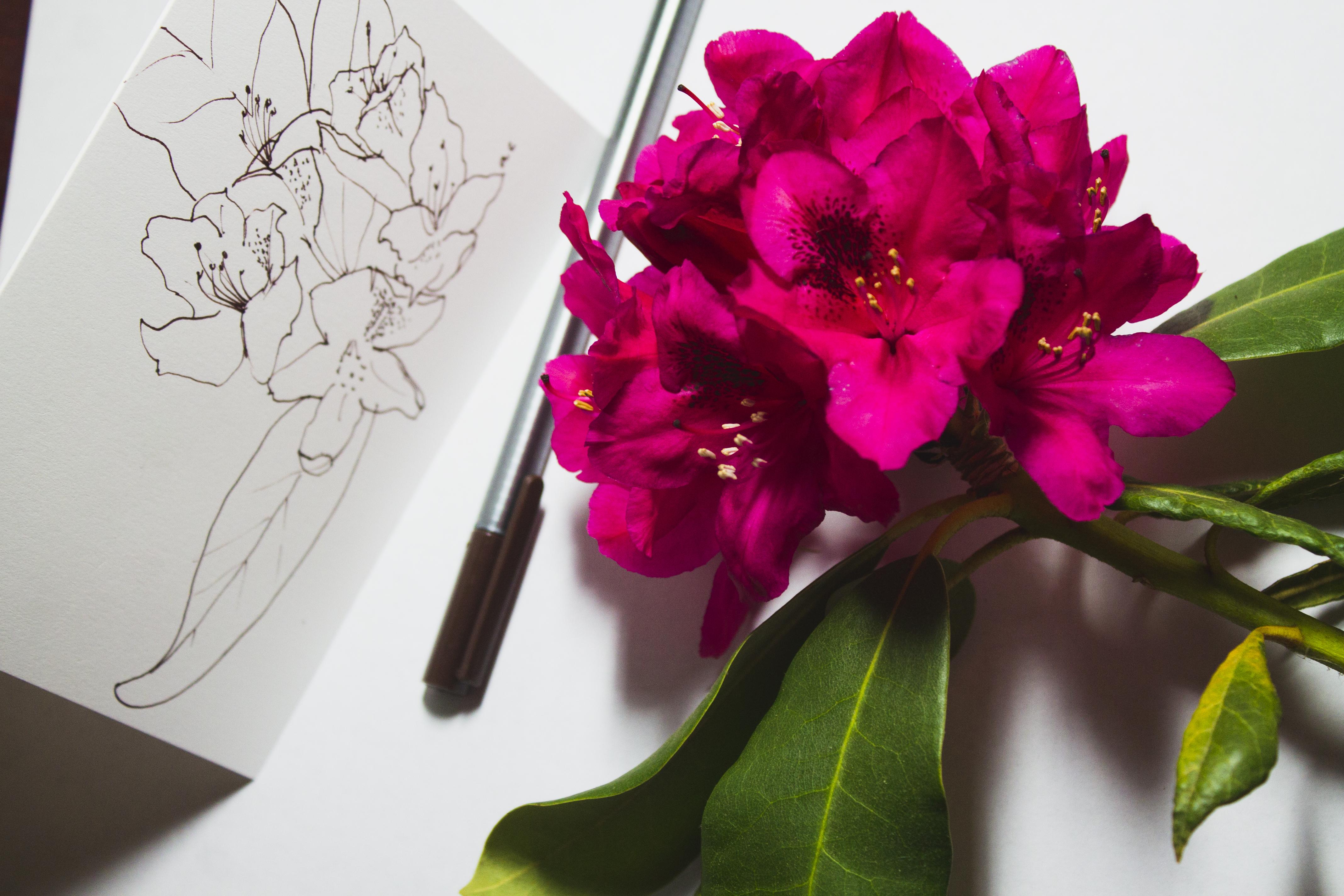 Pen sketch: Rhododendron