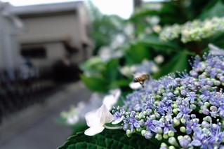 The flowers of Hydrangea in commuting 2014/06 No.1.