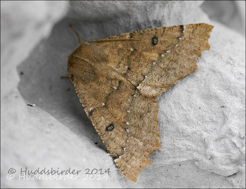 Scalloped Hazel Moth