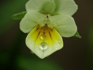 belgium wilde flora flore indig ne einheimische pflanzen flickr photo sharing. Black Bedroom Furniture Sets. Home Design Ideas