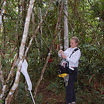 Carey hanging cardboard baited with chemicals to attract orchid bees