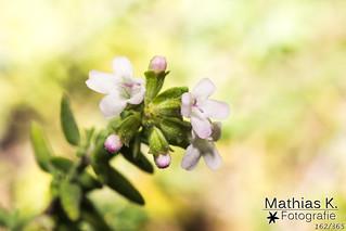 Thymianblüte | Projekt 365 | Tag 162