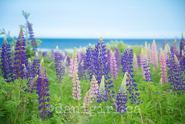 Lupines at Basin Head PEI