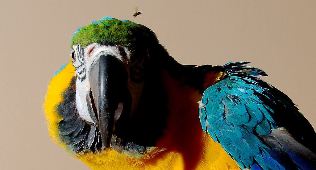 Blue-and-yellow Macaw_2_v2