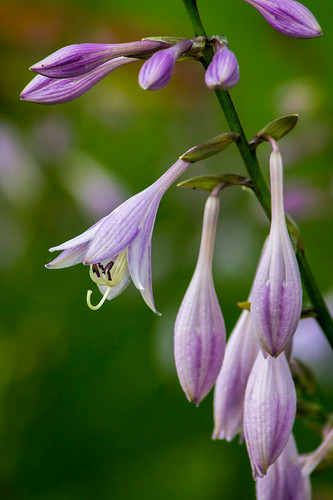 Flower, Flowers, Purple, Hosta, Hostas