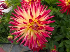 dorotheanthus bellidiformis(0.0), annual plant(1.0), dahlia(1.0), flower(1.0), plant(1.0), macro photography(1.0), flora(1.0), petal(1.0),