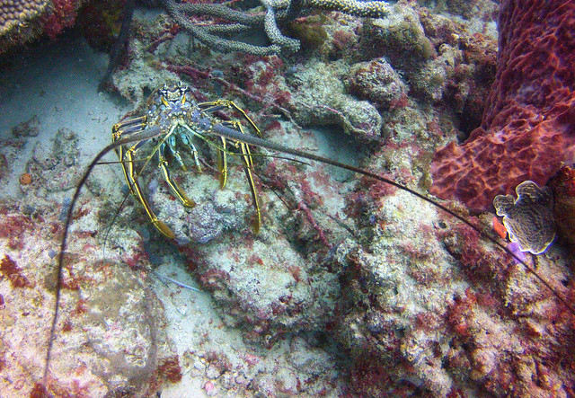 Lobster - Tobago