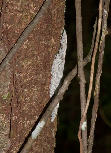 noctuidae suriname tafelberg whitewitch agrippina erebidae thysania