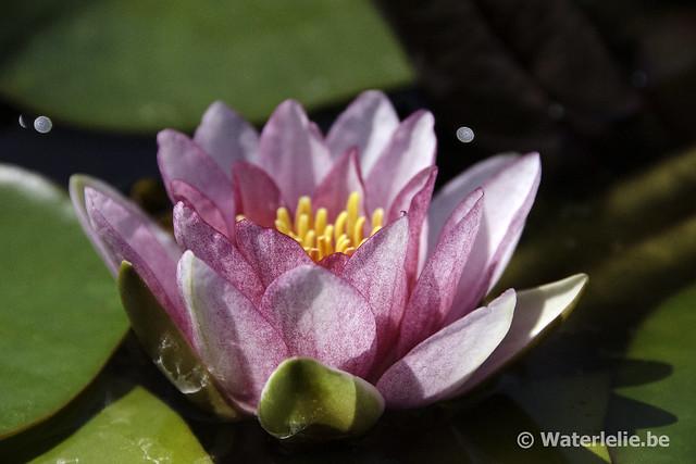 Waterlelie Splendida / Nymphaea Splendida
