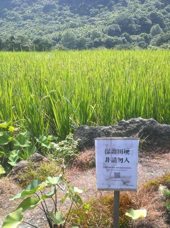 八煙水梯田中的飽滿稻穗。陳俊凱攝。