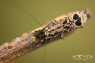 Fungus Weevil (Apolecta transversa) - DSC_0328