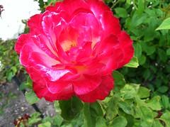 rosa rugosa(0.0), annual plant(1.0), shrub(1.0), garden roses(1.0), rosa 㗠centifolia(1.0), floribunda(1.0), flower(1.0), rosa gallica(1.0), plant(1.0), flora(1.0), peony(1.0), rosa chinensis(1.0), petal(1.0),