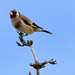 Watchful Goldfinch