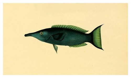 015- Gomphorus Viridis-A selection … the fishes …of Ceylon-1834 John B. Whitchurch