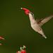 Help me Hummingbird by snooker2009