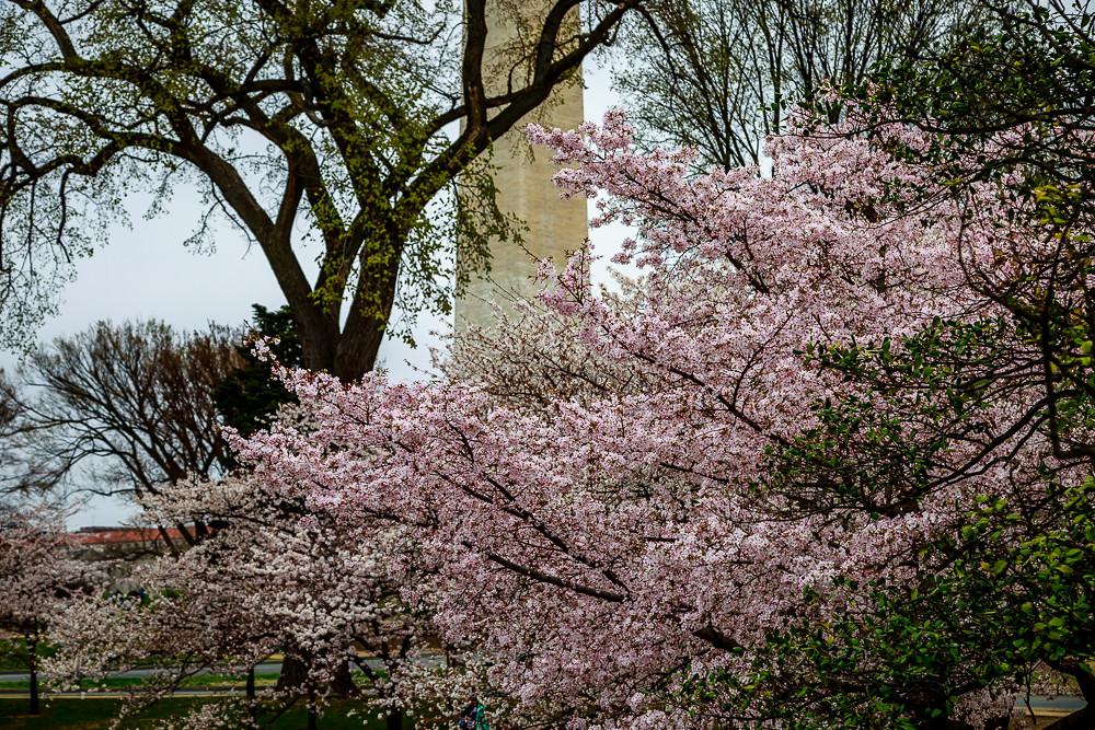 2017 华盛顿樱花-16