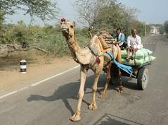 India (Ranthambhore)  Camel-carriage