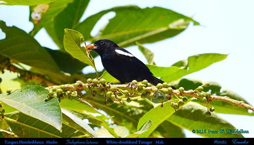 whiteshoulderedtanager whiteshoulderedtanagermale whiteshoulderedtanagereatingfruit whiteshoulderedtanagerinmindo whiteshoulderedtanagerinecuador tangarahombriblanca tangara tachyphonusluctuosus tachyphonus thraupidae ecuadortanagers southamericantanagers ecuadorbirds southamericanbirds neotropicalbirds birdeatingfruit mindotanagers mindobirds picopicofruit picopicotree acnistusarborescens solanaceae mindo pichinchaprovince ecuador tanagerphotobypeterwendelken peterwendelken ngc npc