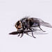 Small photo of Mouche - Fly