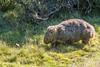 Wombat D50_7621.jpg