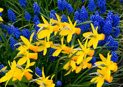 Daffodils and blue flowers