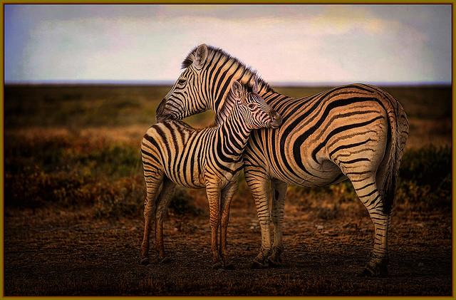 Zebra With Cub