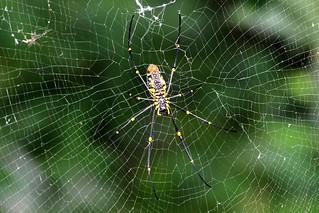 IMG_9913/Thailand/Koh Samui Island/Spider Webs/Predator of butterfly/