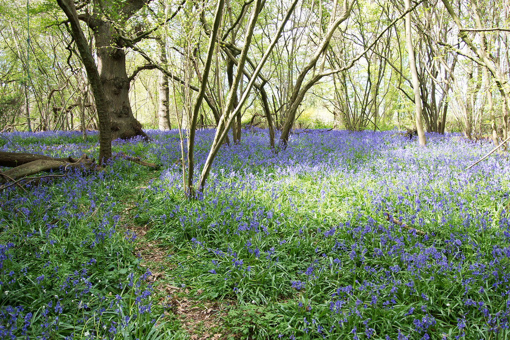 Bluebell Woods Chilham to Canterbury