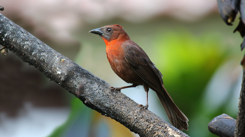 Red throated Ant-Tanager. Habia fuscicuada