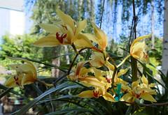 Cymbidium lowianum 'James Drysdale' species orchid